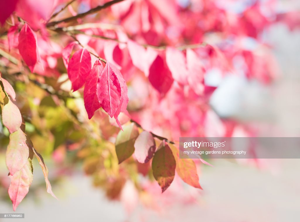Pink Fall Leaves Stock Photo
