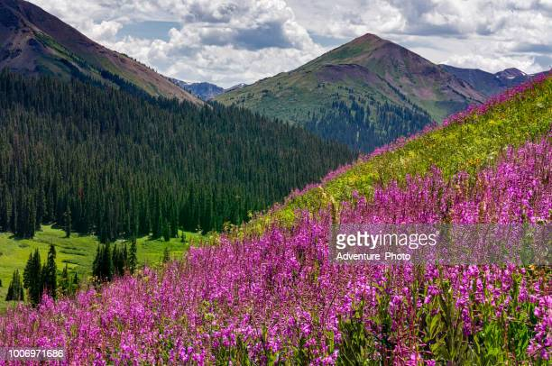 pink fireweed and mountain views - aspen colorado stock photos and pictures