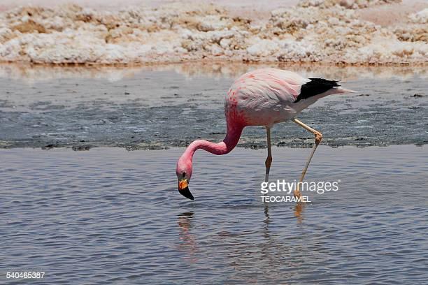Pink flamingo in Chaxa Lagoon