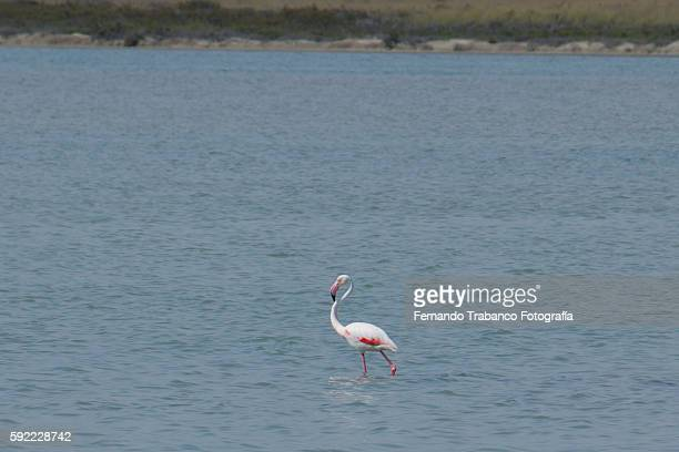 pink flamingo in the sea - donana national park stock photos and pictures
