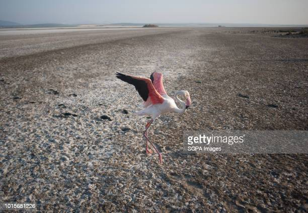 A pink flamingo is seen trying to fly Control evaluation and identification of flamingo chicks for their conservation at Fuente de Piedra Lake in...