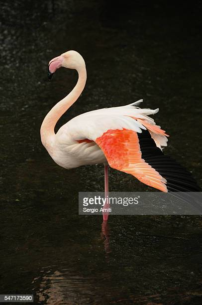 Pink flamingo on a dark background