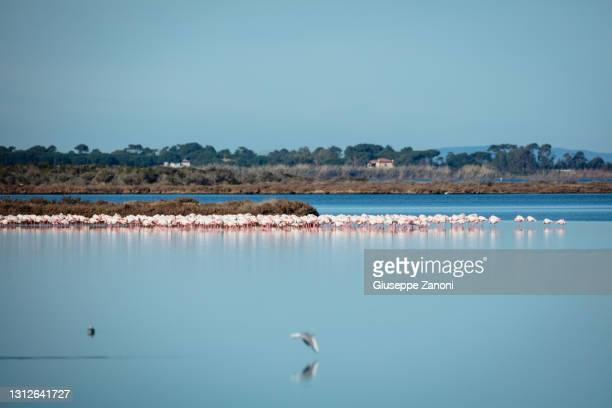 pink flamingo - orbetello stockfoto's en -beelden