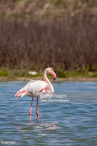 Pink flamingo (Phoenicopterus)