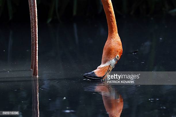 A pink flamingo puts its beak in the water at the Menagerie of the Jardin des plantes in Paris on August 26 during a heatwave in France / AFP /...