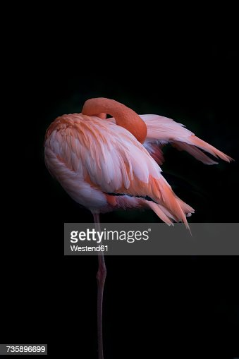 Pink flamingo standing on one leg in front of black background