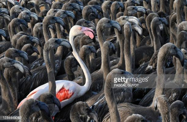Pink flamingo stands among flamingos chicks in a pen in Aigues-Mortes, near Montpellier, southern France, on August 3 during the annual tagging and...