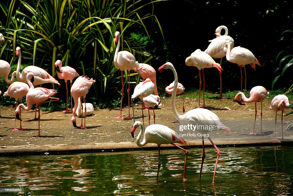 Pink Flamingoes in lake : Stock Photo