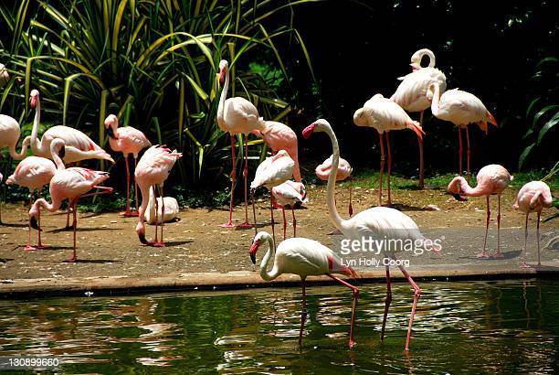 pink flamingoes in lake - lyn holly coorg photos et images de collection