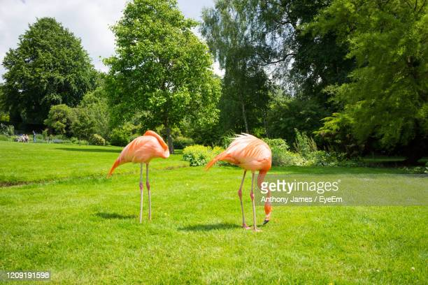 pink flamingoes on grassy field - northamptonshire stock pictures, royalty-free photos & images