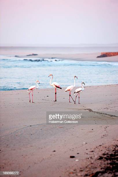 Pink Flamingos at Cape Cross beach in Namibia