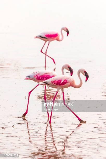 pink flamingos feeding at amboseli lake - amboseli stock photos and pictures