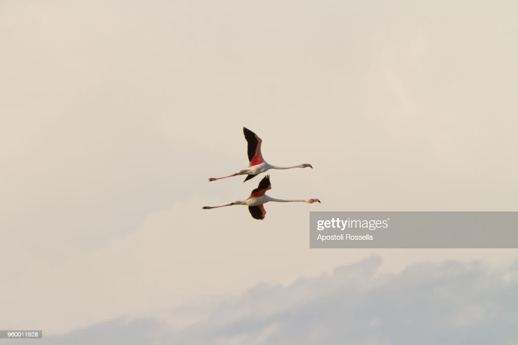Pink flamingos flying in the natural park of the Po Delta : Stock-Foto