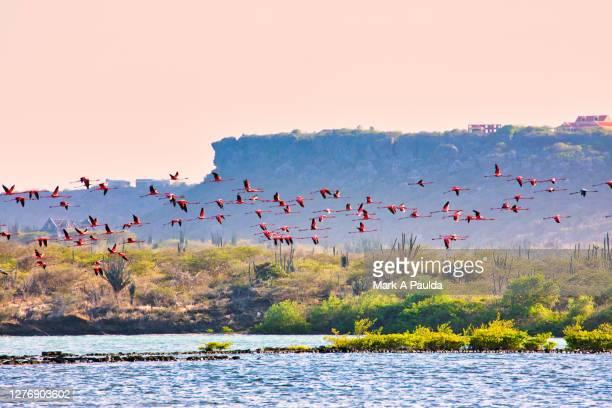 pink flamingos flying over a lagoon in curacao - curaçao stockfoto's en -beelden