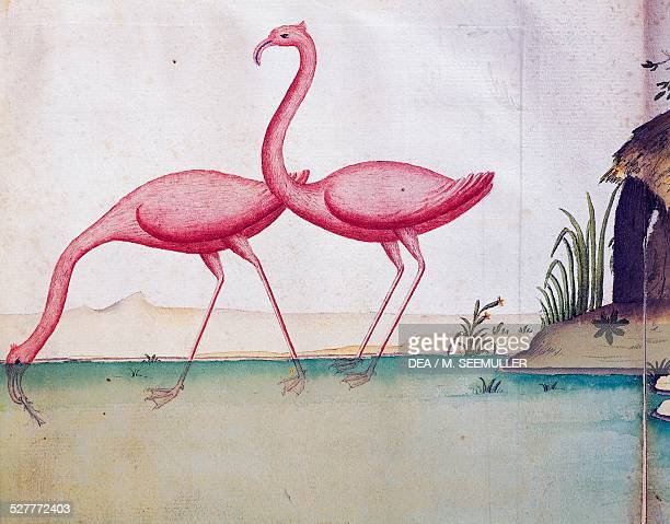 Pink flamingos Galapagos Islands watercolor from the log book by Jacques Gouin de Beauchesne captain of the Compagnie royale de la Mer du Sud from...