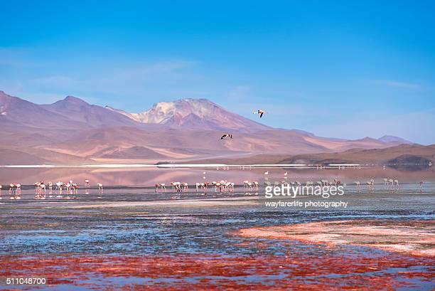 pink flamingos in a red lake. - lake nakuru - fotografias e filmes do acervo
