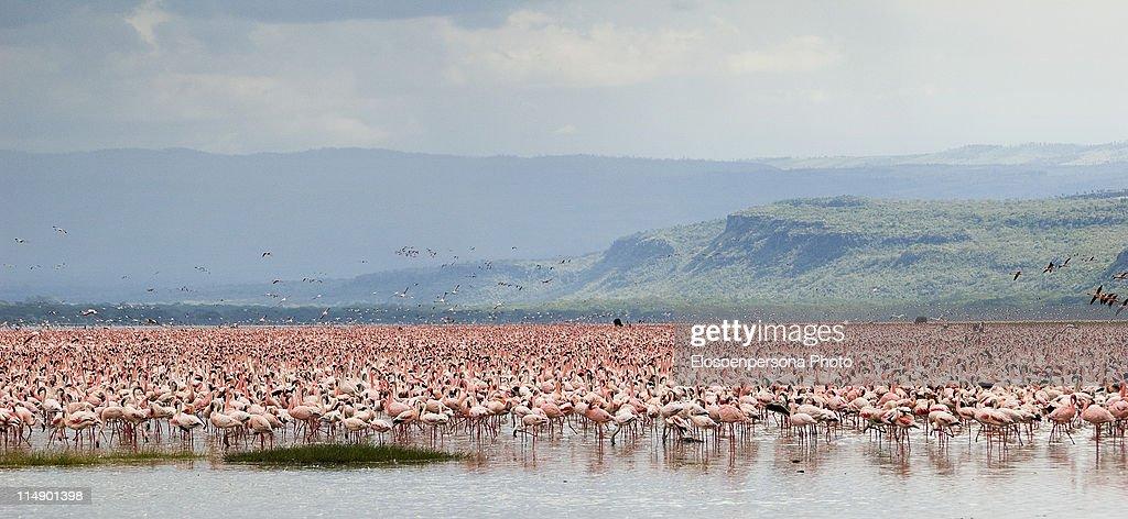 Pink flamingos in nakuru lake : Stock Photo