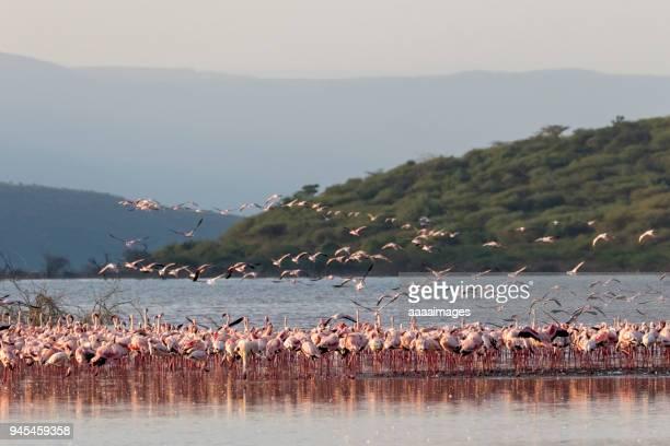pink flamingos in nakuru lake - lake nakuru stock photos and pictures