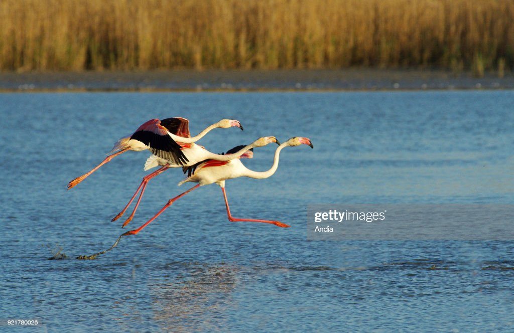 Pink flamingos in the Camargue Regional Nature Park.