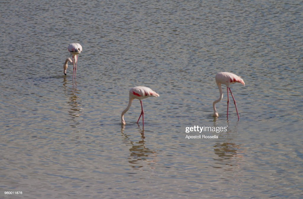 pink flamingos in the natural park of the Po Delta : Stock-Foto