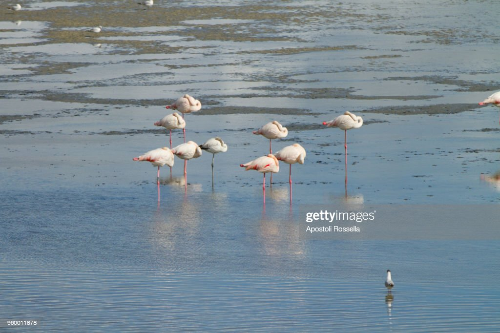 pink flamingos in the natural park of the Po Delta : Stockfoto