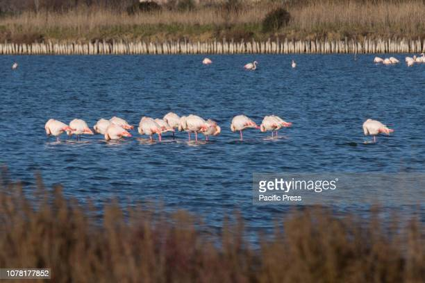 Pink flamingos in the Orbetello lagoon inside the WWF Oasis in Tuscany at sunset on a winter day.
