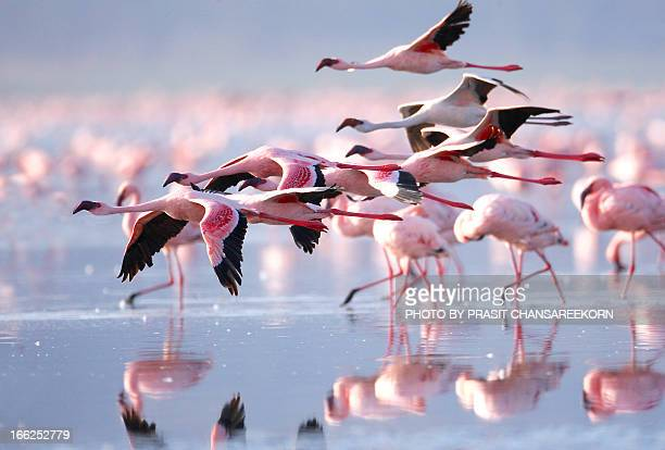 pink flamingos - animal wildlife stock pictures, royalty-free photos & images
