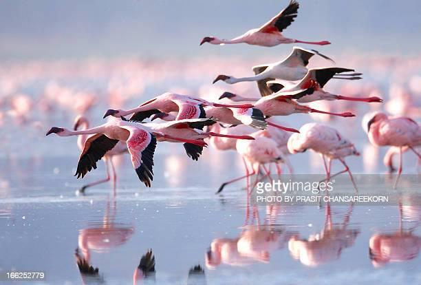 pink flamingos - 野生動物 ストックフォトと画像