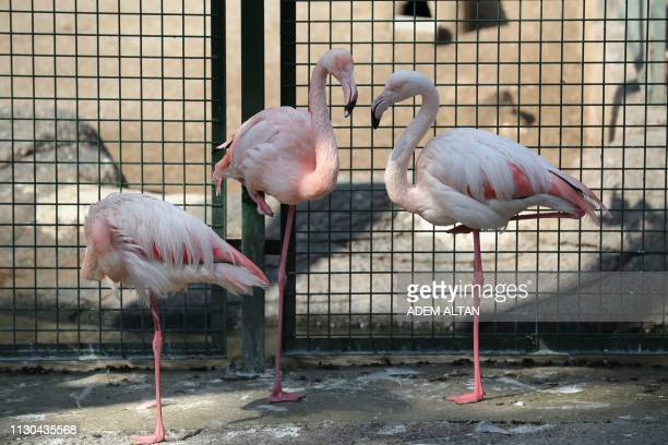 Pink flamingos stand in their enclosure at the Kecioren Municipality Pet Park in Ankara on March 14 2019