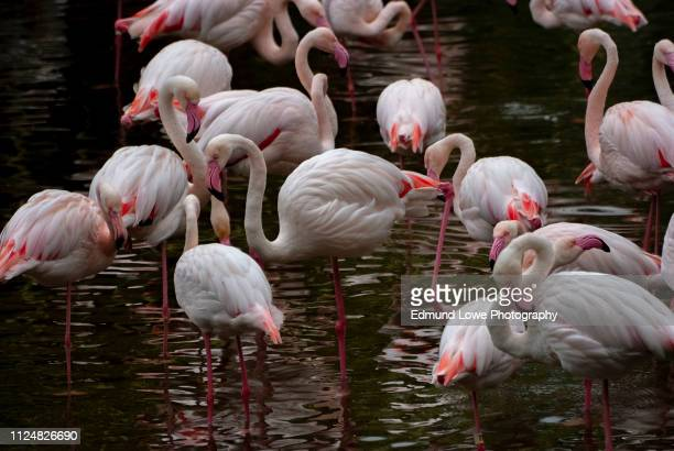 Pink Flamingos Wading in a Pond.