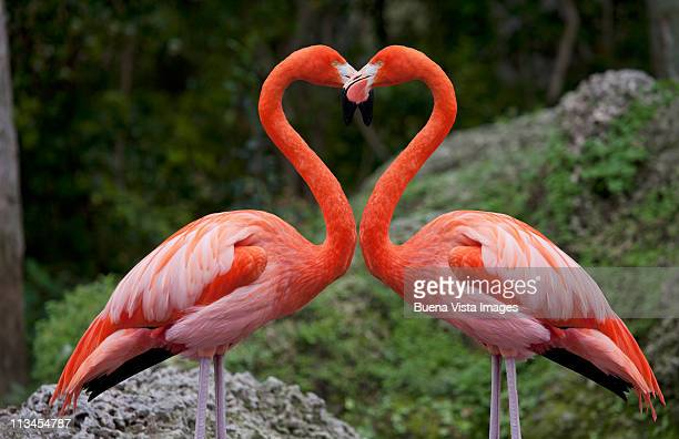 pink flamingos with heart shaped necks - flamingo stock photos and pictures