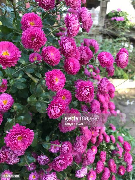 pink flower blooming outdoor - chrysanthemum imagens e fotografias de stock