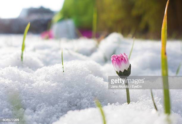 Pink Flower Bud Growing On Snow Covered Field