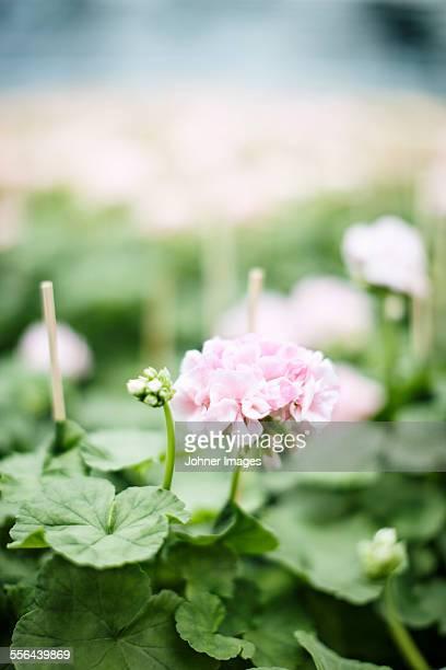 Pink flower, close-up