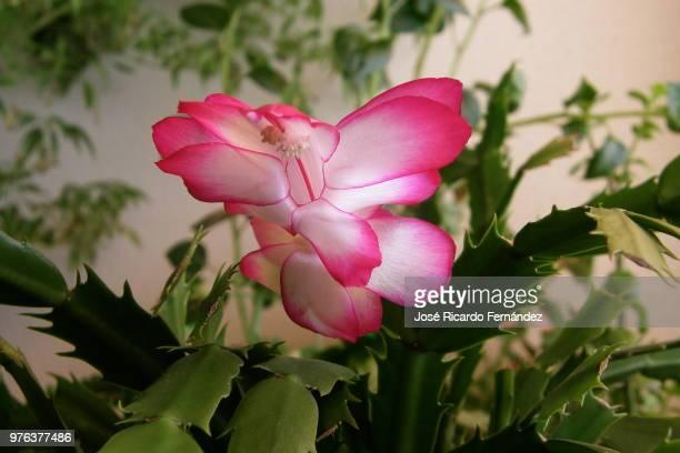 Pink Flower / Flor rosa