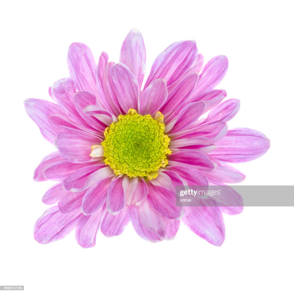 Pink Flower Isolated On White Background Stock Photo Getty Images