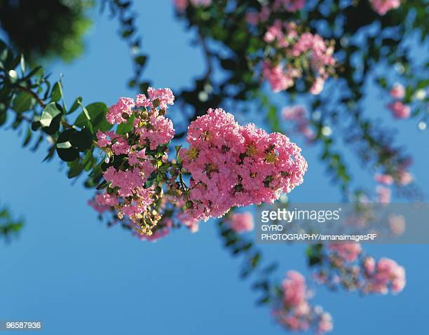 pink flower of crape myrtle - crepe myrtle tree stock pictures, royalty-free photos & images