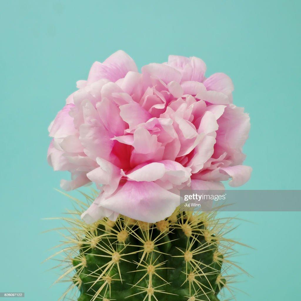 Pink flower on cactus : Foto de stock