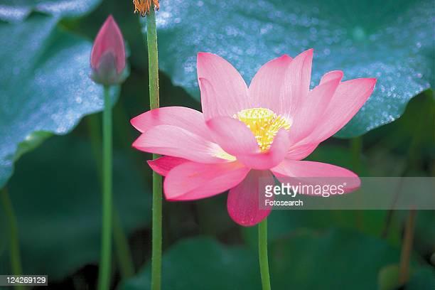 Pink, Flower, Outdoor, Leaf, Lotuses, Petal
