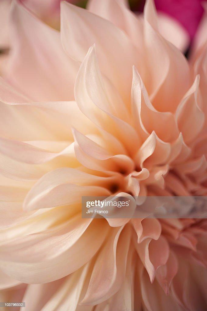 Pink flower : Stock Photo