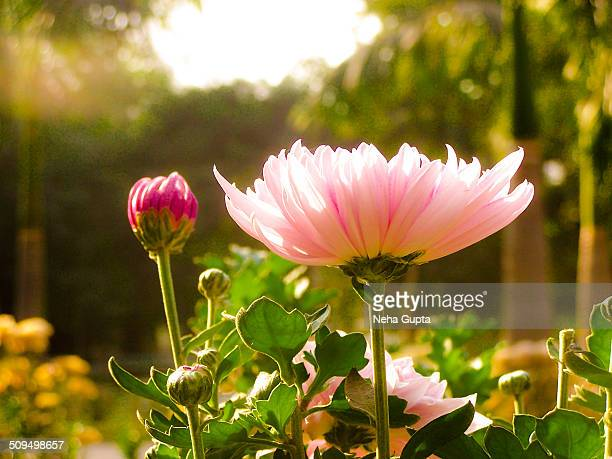 pink flower - neha gupta stock pictures, royalty-free photos & images