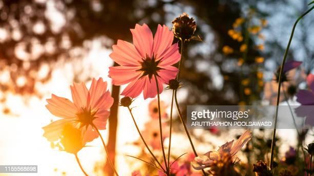 pink flower sunset for background design - gegenlicht stock-fotos und bilder
