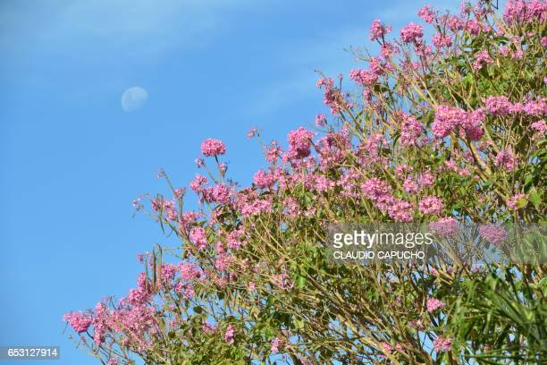 pink flower tree and moon - claudio capucho stock photos and pictures