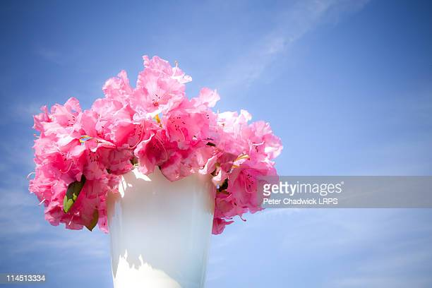 pink flower with blue sky - azalea stock pictures, royalty-free photos & images