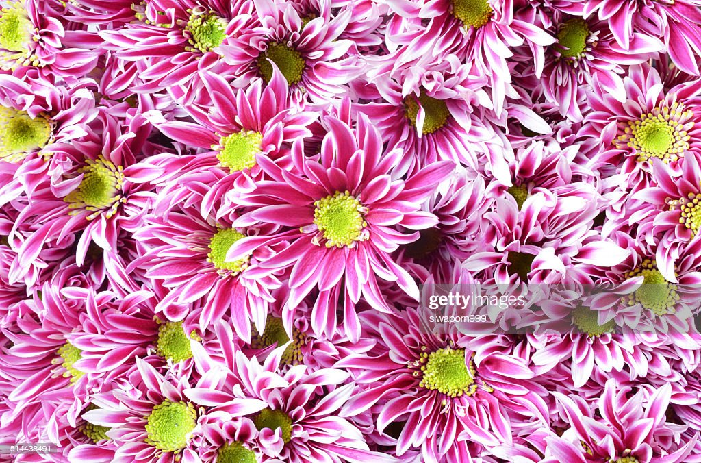 Pink flower with long thin petals a yellow center stock photo pink flower with long thin petals a yellow center stock photo mightylinksfo