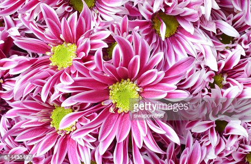 Pink flower with long thin petals a yellow center stock photo pink flower with long thin petals a yellow center stock photo getty images mightylinksfo