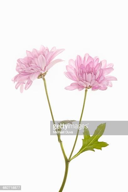 pink flower with stem on white background studio - tallo fotografías e imágenes de stock