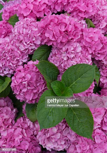 pink flowering bigleaf hydrangea (hydrangea macrophylla), schleswig-holstein, germany - schleswig holstein stock pictures, royalty-free photos & images