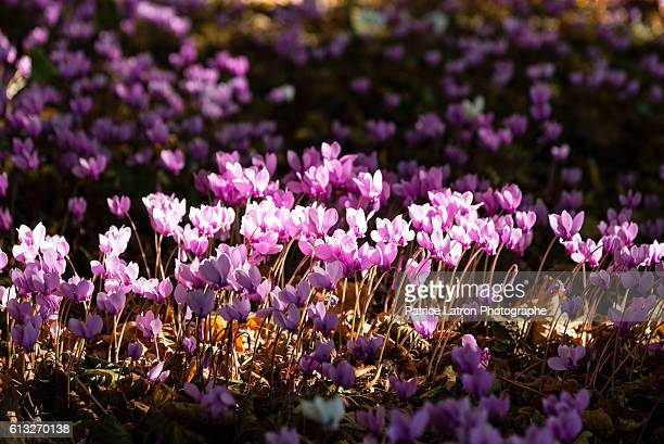 pink flowering cyclamen in a undergrowth. - image stock-fotos und bilder