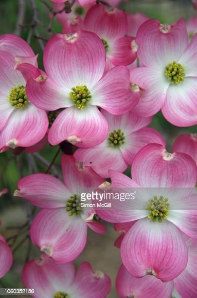 Pink flowering dogwood (Cornus florida) blooming in springtime